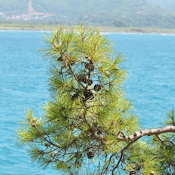 the sea and the pine trees